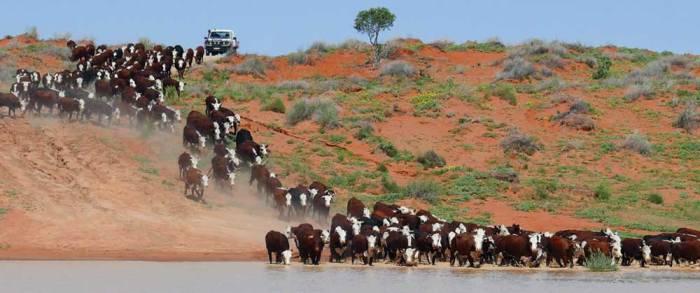 OBE-Organic-cattle-in-the-Channel-Country-grasslands-of-Australia-6-1000pixJPEG29